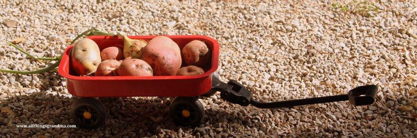Potato Harvest:  Storytelling Photographs
